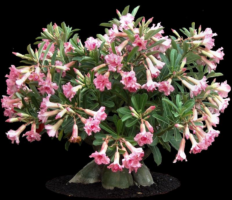 NRS Abena Plants